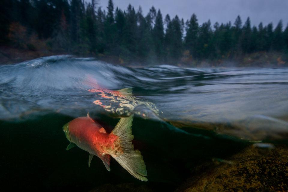 «Туманное утро на реке Адамс», Эйко Джонс - река Адамс, Британская Колумбия, Канада