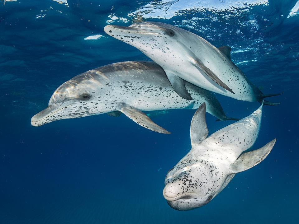 «Атлантические пятнистые дельфины», Евгений Кициос - Бимини, Багамские острова