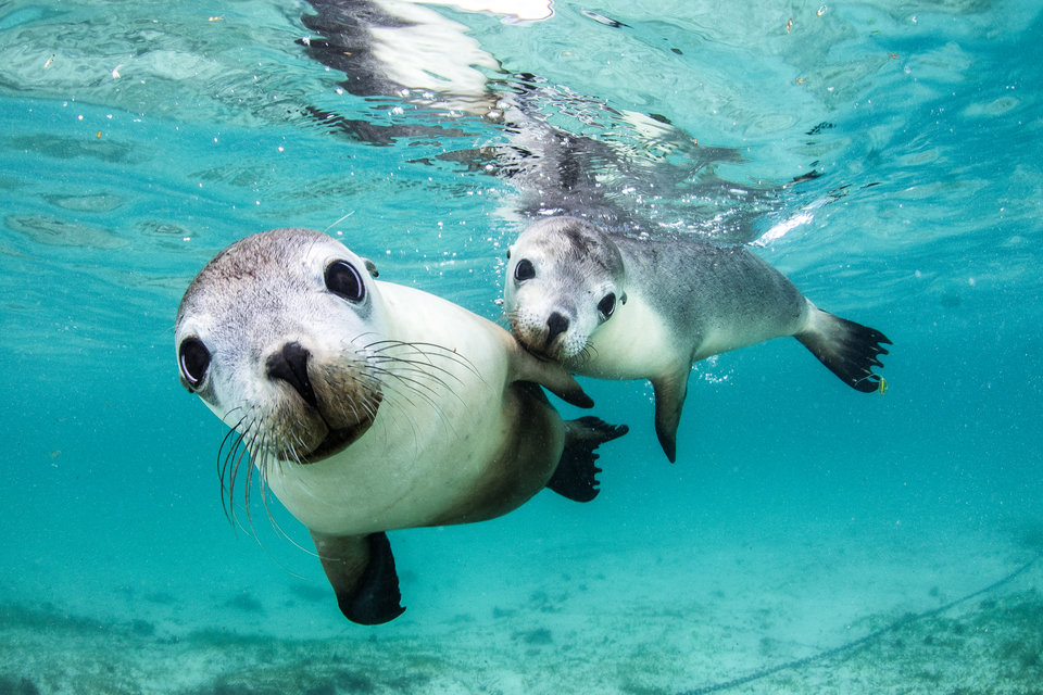 «Два любознательных друга», Селия Куджала - Морской парк Джуриен Бэй, Западная Австралия
