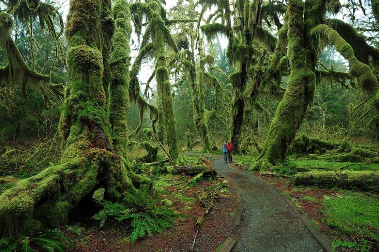 Hoh Rain Forest. Национальный парк Олимпик. США