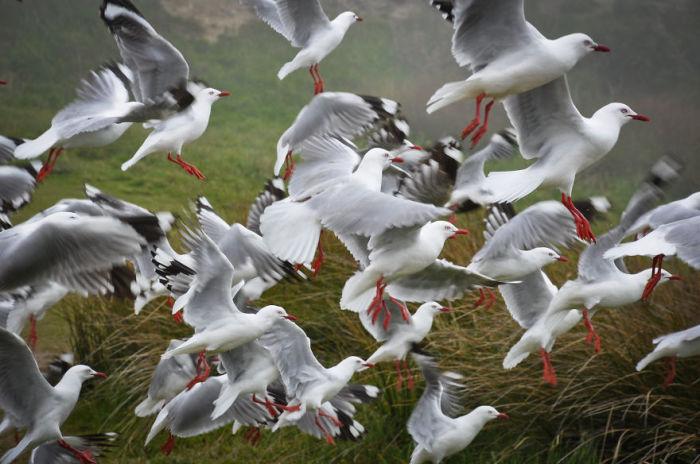 Чайки (Seagulls). Автор фото: Энтони Харрисон (Anthony Harrison).